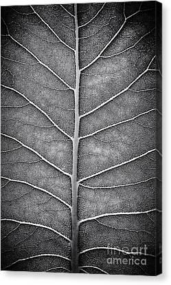 Prairie Dock Leaf Monochrome Canvas Print by Tim Gainey