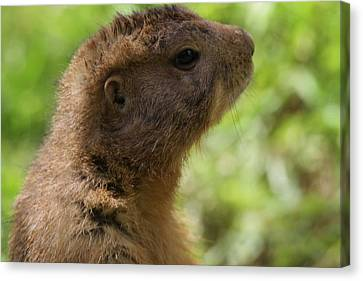 Prairie Dog Portrait Canvas Print by Dan Sproul