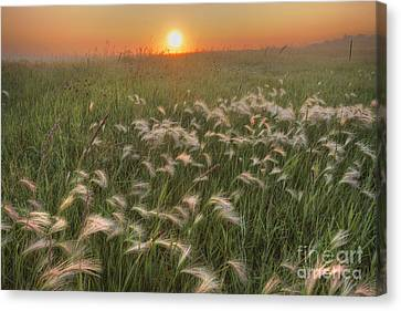 Prairie Foxtails Canvas Print by Dan Jurak
