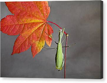 Praying Mantis Canvas Print by Buddy Mays