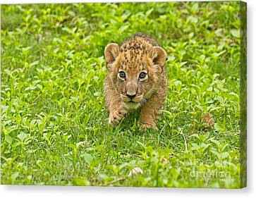 Predator In The Making Canvas Print by Ashley Vincent