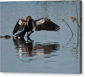 Preening Anhinga Canvas Print by Dawn Currie