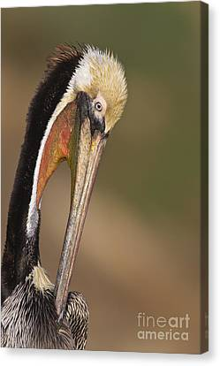 Preening Pelican Canvas Print by Bryan Keil