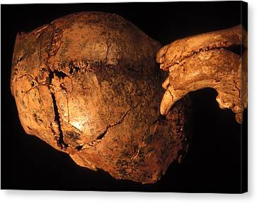Prehistoric Skull And Leopard Teeth Canvas Print by Philippe Plailly