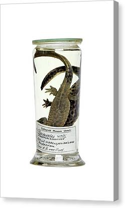 Preserved Newts Canvas Print by Gregory Davies