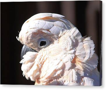 Pretty In Pink Salmon-crested Cockatoo Portrait Canvas Print by  Andrea Lazar