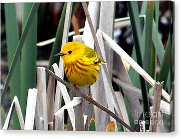 Pretty Little Yellow Warbler Canvas Print by Elizabeth Winter