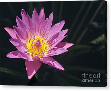 Pretty Pink And Yellow Water Lily Canvas Print by Sabrina L Ryan
