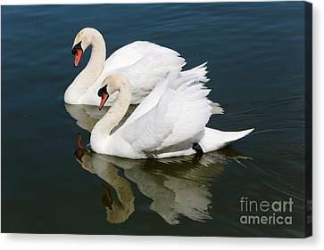 Pretty Swan Pair Canvas Print by Carol Groenen