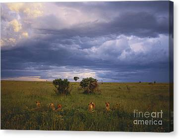 Pride Of Lions Canvas Print by Art Wolfe
