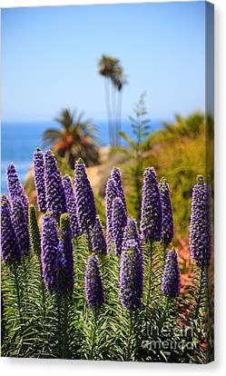 Pride Of Madeira Flowers In Orange County California Canvas Print by Paul Velgos