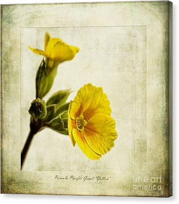 Primula Pacific Giant Yellow Canvas Print by John Edwards