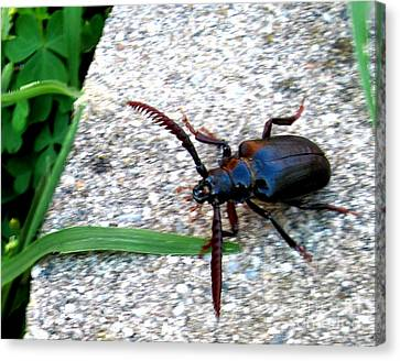 Prionus Coriarius Or Sawying Suport Beetle Canvas Print by The Kepharts