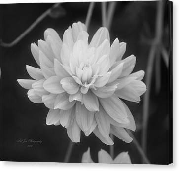 Prissy In Black And White Canvas Print by Jeanette C Landstrom