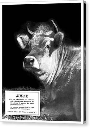 Prize Bull. Circa 1917. Canvas Print by Unknown Photographer