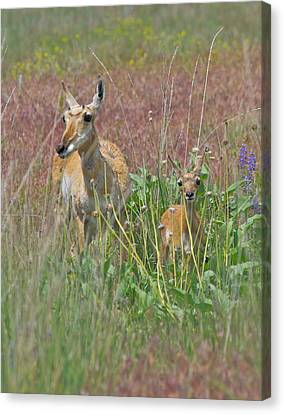 Pronghorn Doe And Fawn Canvas Print by Karon Melillo DeVega