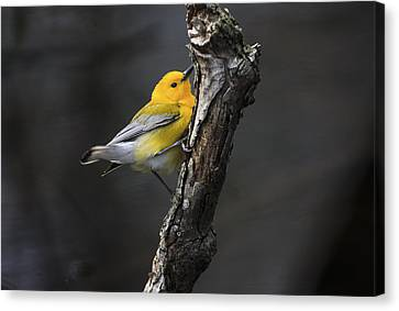 Prothonotary Warbler 2 Canvas Print by Gary Hall