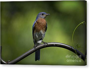 Proud Eastern Bluebird  Canvas Print by Cris Hayes