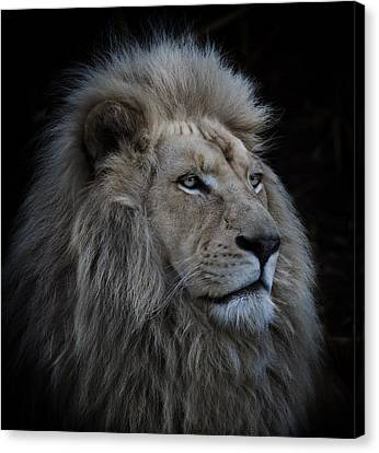 Proud Lion Canvas Print by Louise Wolbers