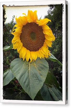 Proud Sunflower Canvas Print by Cindy Collier Harris