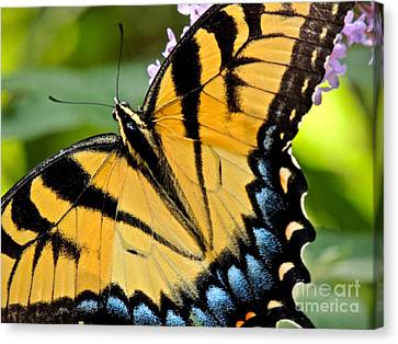 Proud Swallowtail Canvas Print by Eve Spring