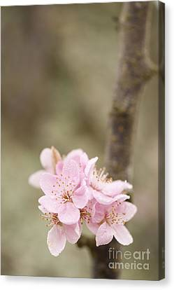 Prunus Cerasifera Lindsayae Canvas Print by Anne Gilbert