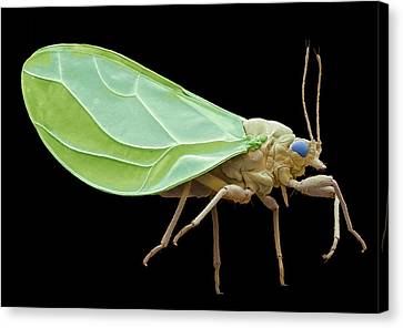 Psyllid Canvas Print by Steve Gschmeissner