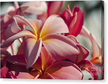 Pua Melia Ke Aloha Maui Hikina Canvas Print by Sharon Mau