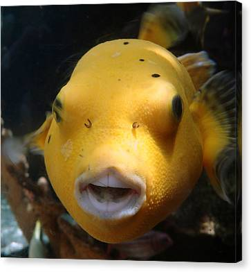 Puffer Poses Canvas Print by Refresh  Photography