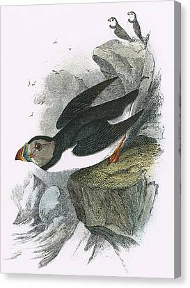 Puffin Canvas Print by English School