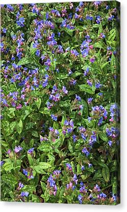 Pulmonaria Angustifolia 'lewis Palmer' Canvas Print by Geoff Kidd
