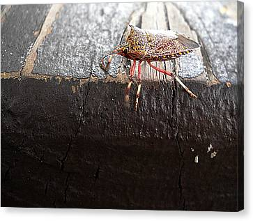 Pumpkin Bug  000 Canvas Print by Chris Mercer