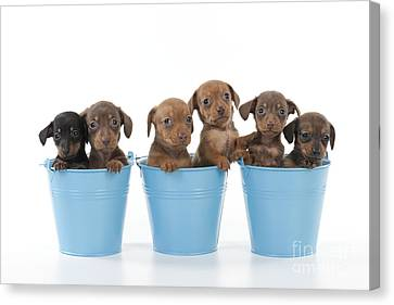 Puppies In Buckets Canvas Print by John Daniels