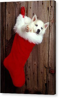 Puppy In Christmas Stocking Canvas Print by Garry Gay