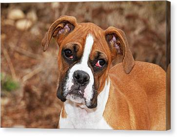 Purebred Boxer, Head And Back Canvas Print by Piperanne Worcester