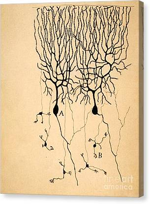 Purkinje Cells By Cajal 1899 Canvas Print by Science Source