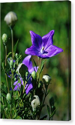 Purple Balloon Flower Canvas Print by Anonymous