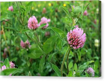 Purple Clover Wild Flower In Midwest United States Meadow Canvas Print by Adam Long