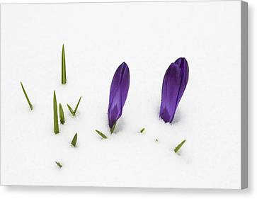 Purple Crocus In The White Snow - Spring Meets Winter Canvas Print by Matthias Hauser