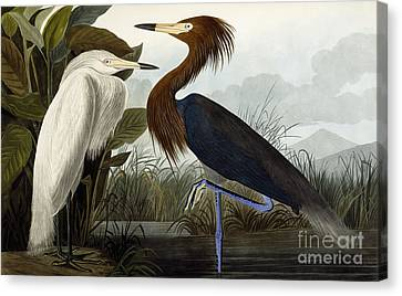 Purple Heron Canvas Print by John James Audubon