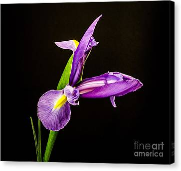 Purple Iris 2 Canvas Print by Mitch Shindelbower