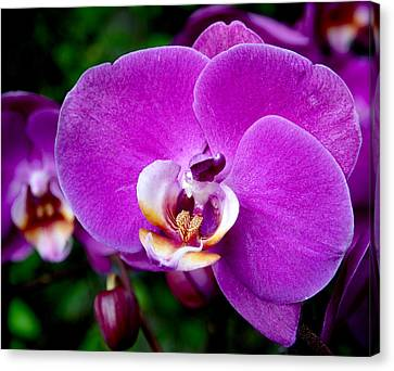 Purple Orchid Canvas Print by Rona Black