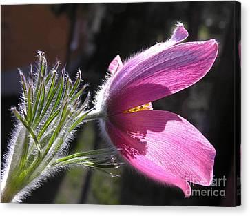 Purple Pasque Flower - Closeup Canvas Print by Kerstin Ivarsson