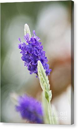 Purple Sage Canvas Print by Pamela Gail Torres