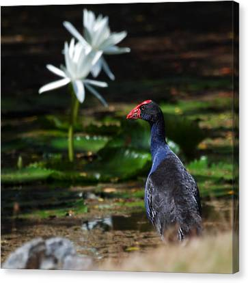 Purple Swamphen Admiring The Water Lilies Canvas Print by Mr Bennett Kent