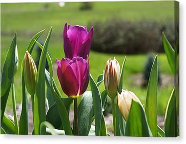 Purple Tulips Garden Art Print Tulip Flowers Canvas Print by Baslee Troutman