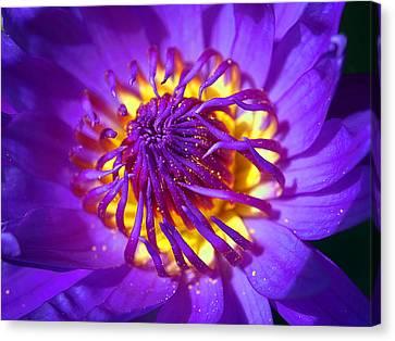 Purple Water Lily Macro Canvas Print by Kaleidoscopik Photography