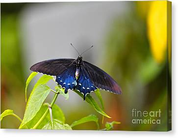 Purple Wings Canvas Print by Jay Nodianos