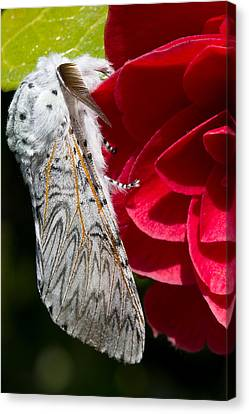 Puss Moth On Red Camellia Canvas Print by Mr Bennett Kent