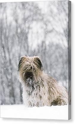 Pyrenean Shepherd Dog Canvas Print by Jean-Paul Ferrero